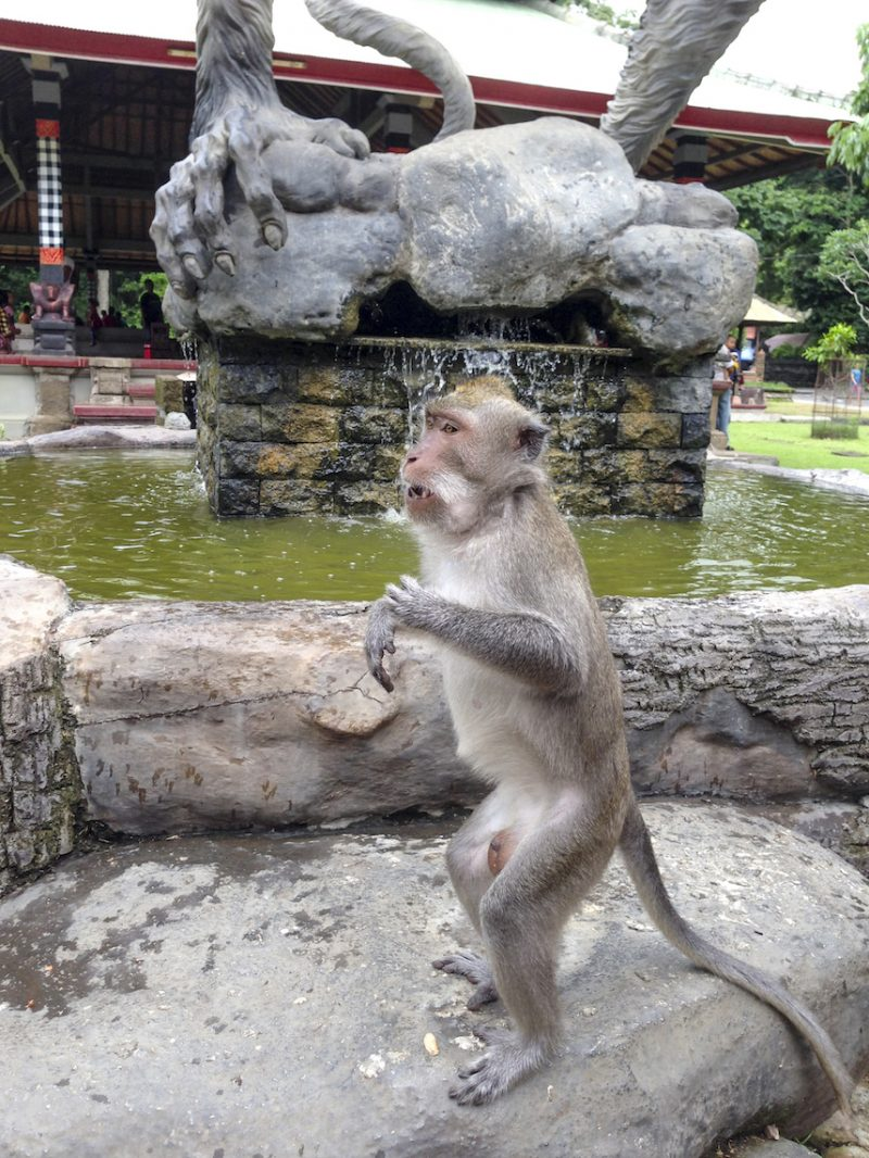 Monkey at Alas Kedaton