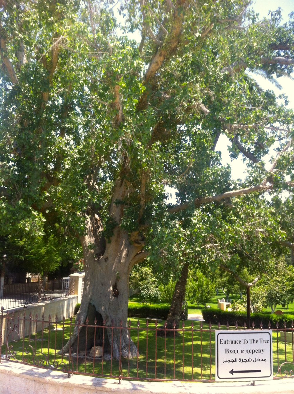 Zaccheus Tree in Jericho